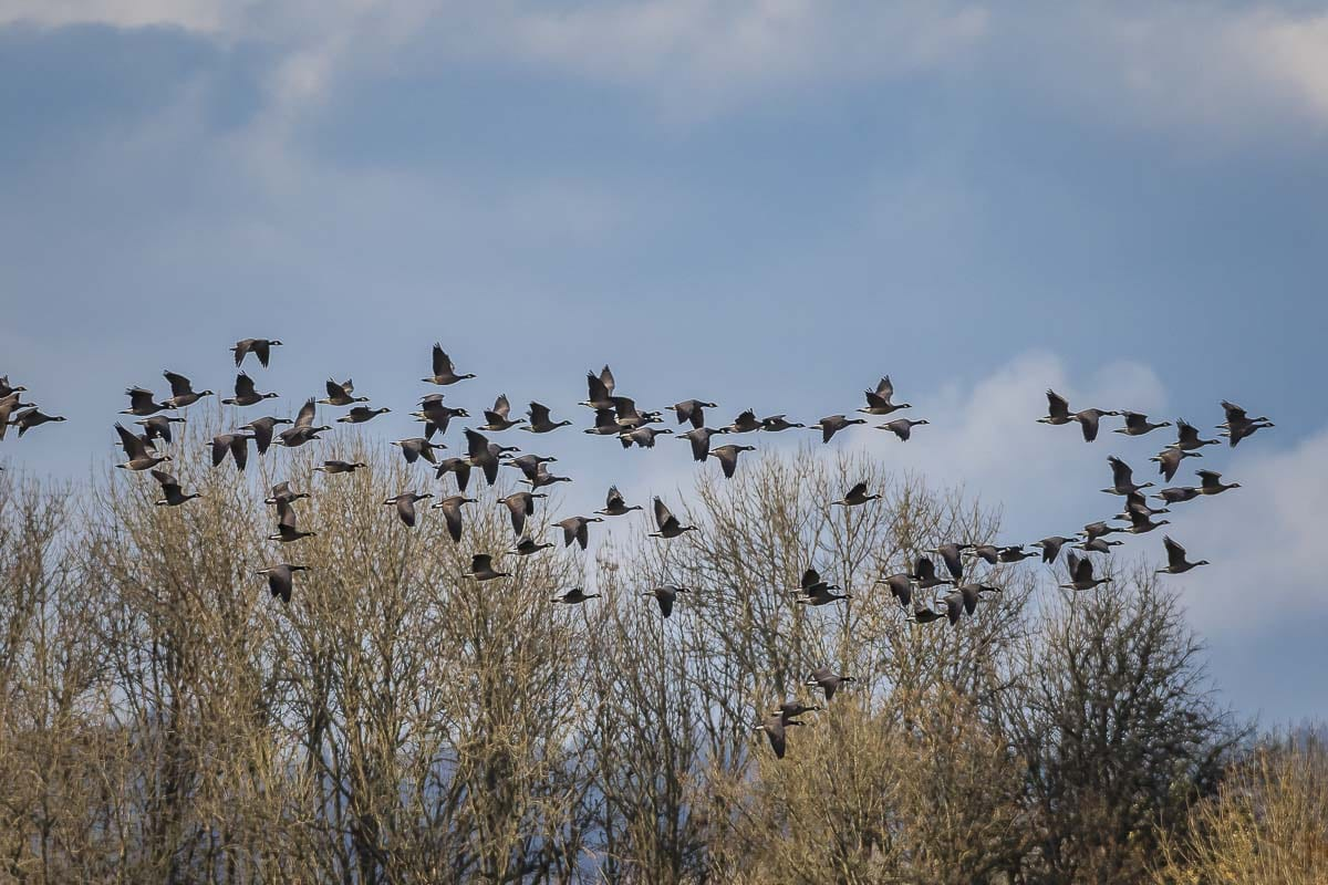 The Ridgefield National Wildlife Refuge is one of the sites of a special one-day waterfowl hunt for youth, veterans, and active military scheduled statewide on Sat., Feb. 1. Photo by Mike Schultz