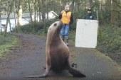 Cowlitz County Sheriff's deputies help return sea lion to the Columbia River