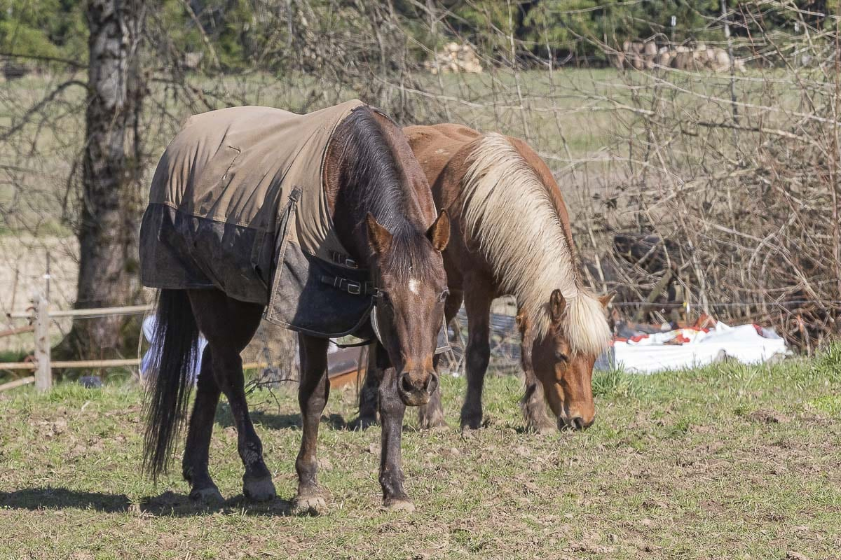 Horses graze in a field near Ridgefield. Photo by Mike Schultz