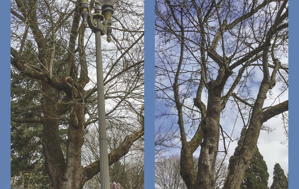 Two of the three aging trees to be removed in Esther Short Park are shown here. Photo courtesy of city of Vancouver