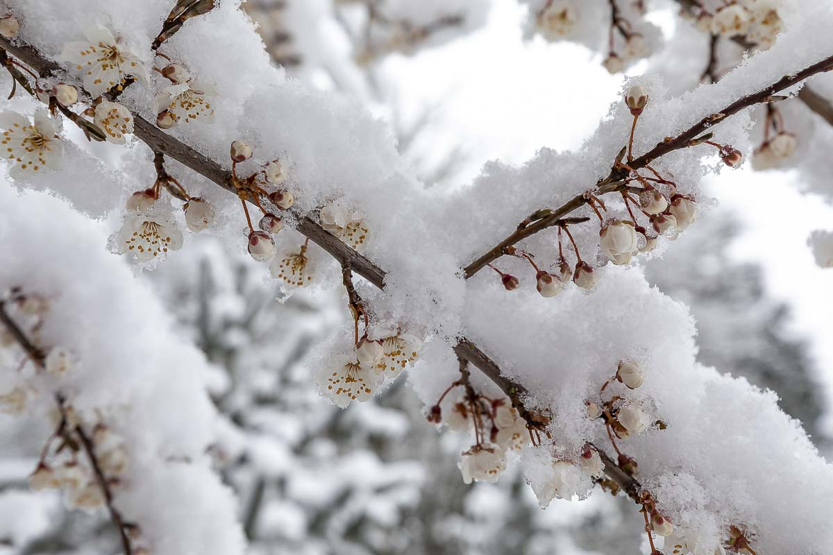 Snow covered spring blossoms on trees across Clark County on Saturday. Photo by Mike Schultz
