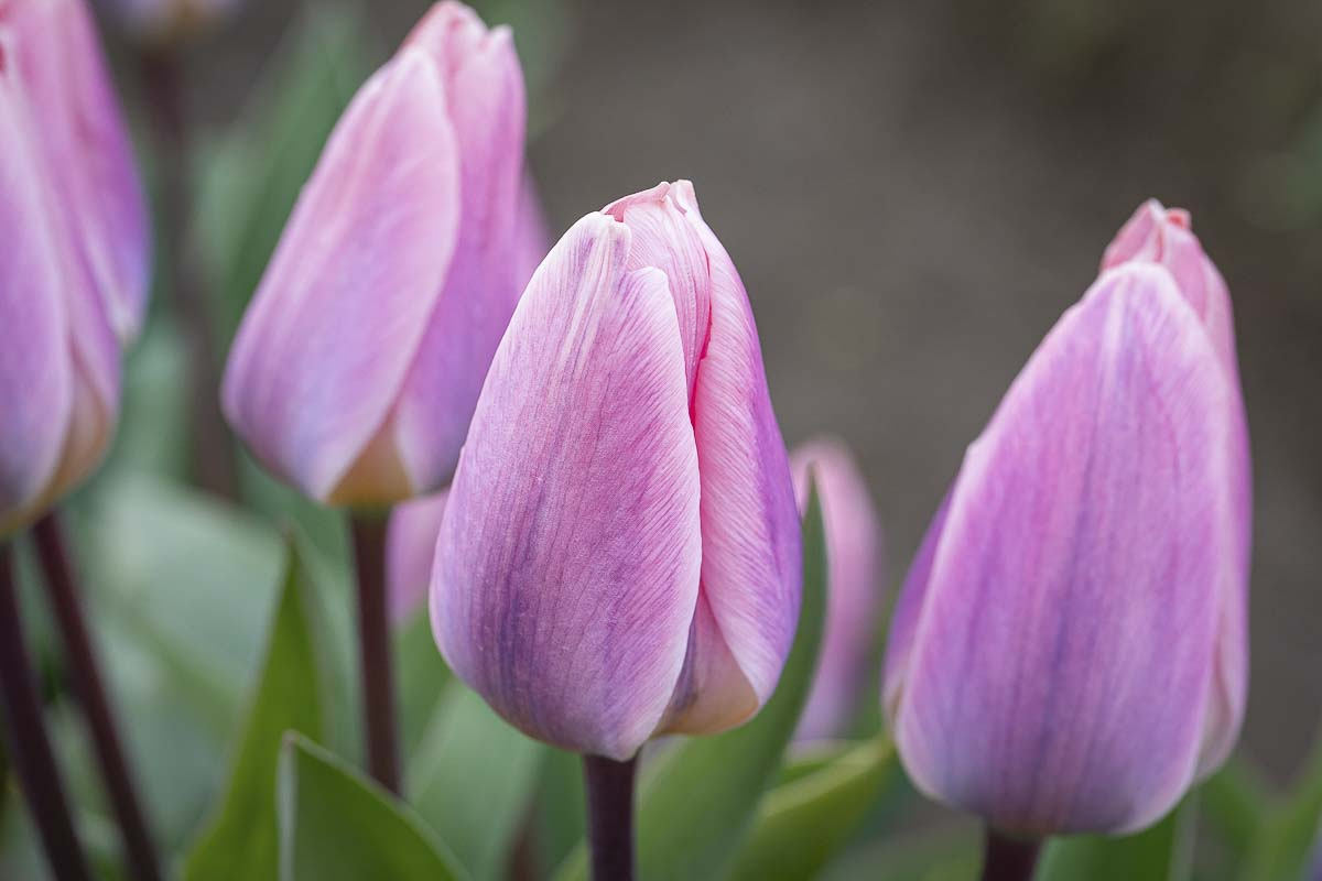 Purple tulips growing at Holland America Flowers in Woodland. Photo by Mike Schultz