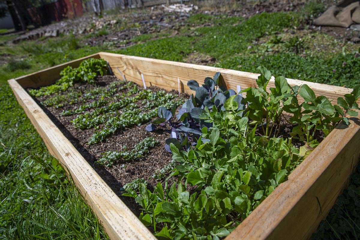 Garden boxes are available pre-made or you can easily assemble them from pre-cut boards at The Home Depot or Lowes. Photo by Bailey Granneman