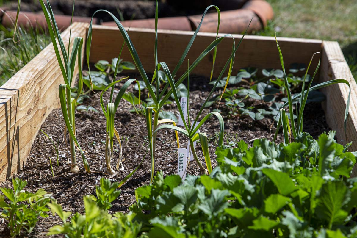 Growing many vegetables from starters can be very easy if they are given the right soil and plenty of water. Photo by Bailey Granneman