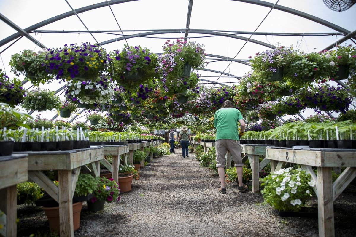 Teachers and volunteers have been caring for thousands of plants inside the greenhouses at Battle Ground High School. Photo by Jacob Granneman