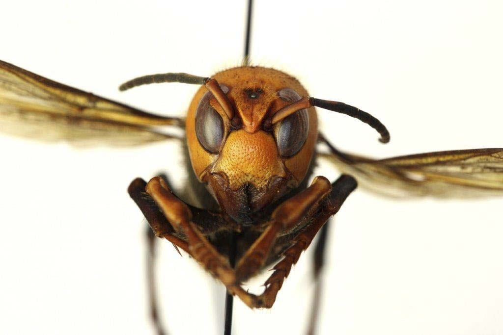 """The Asian Giant Hornet, or so-called """"Murder Hornet'' was sited four times in 2019 in the Pacific Northwest. Photo courtesy of WSDA"""
