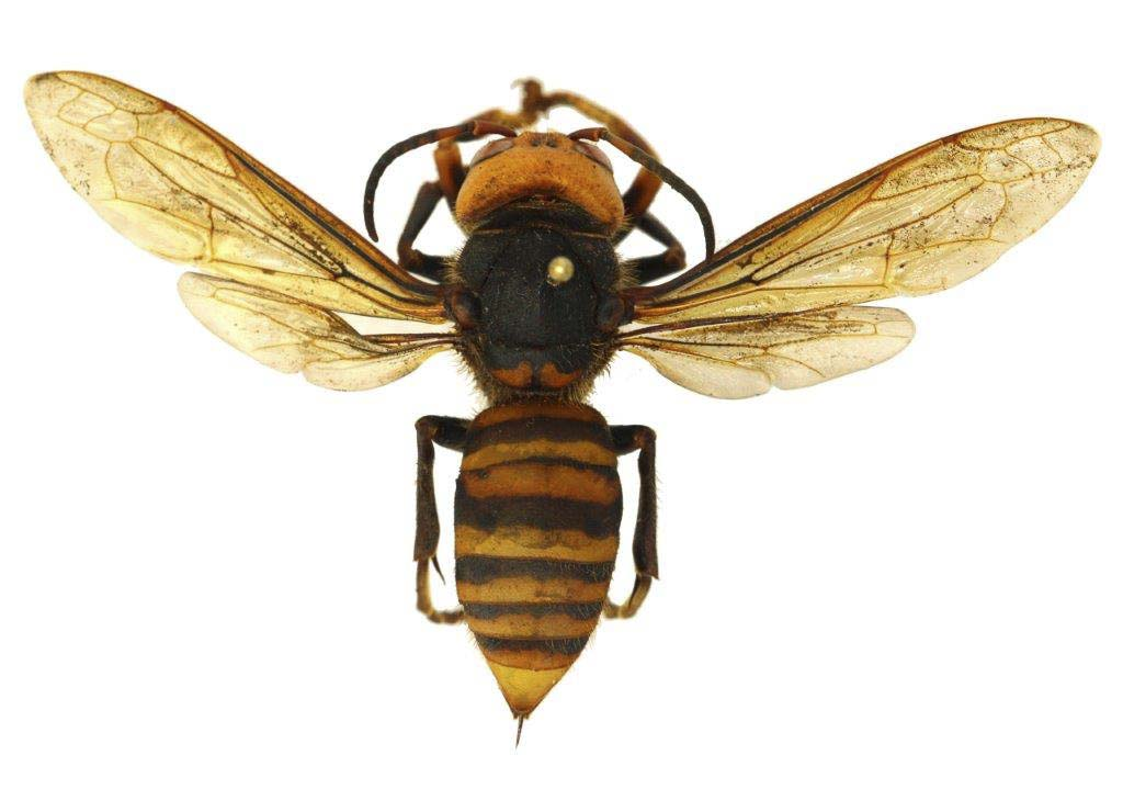 WSDA suspects that the Asian Giant Hornet was brought to North America either on purpose or accidentally in the ballast of a ship. Photo courtesy of WSDA