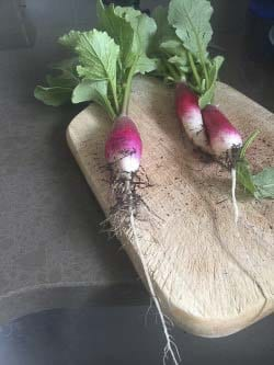 French breakfast radishes are shown here. Photo courtesy of Meg McDonald