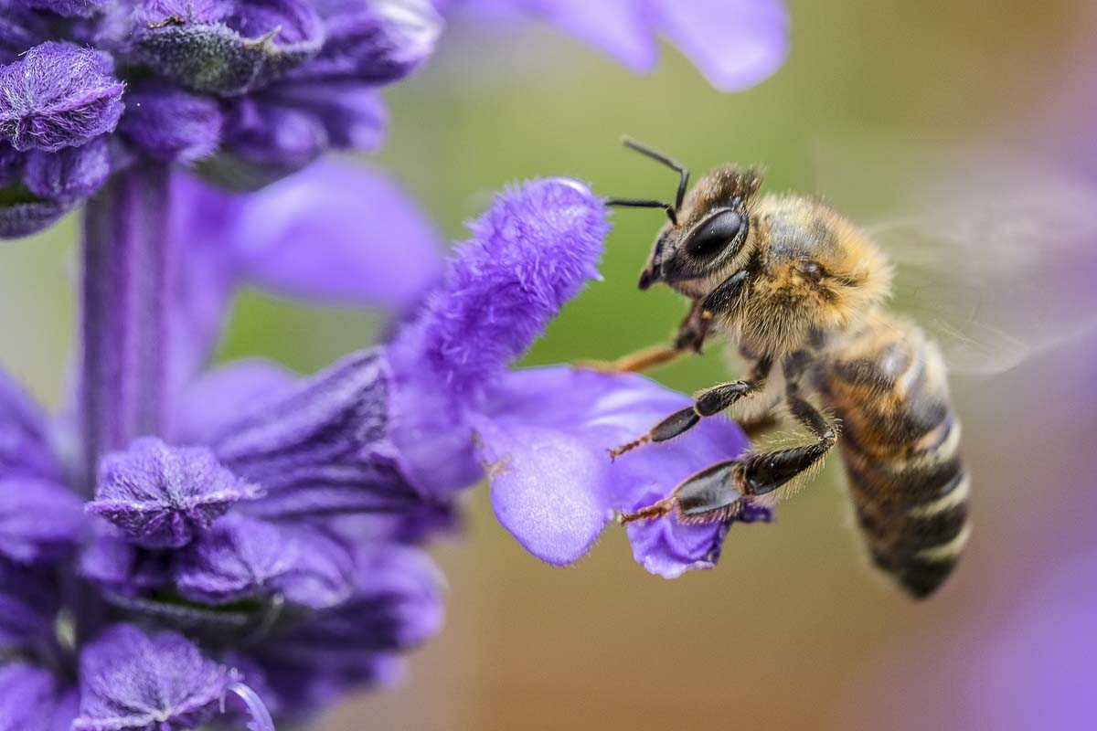 A honeybee can be seen here preparing to drink nectar from a flower, and in turn, pollinating it. Many flowers later mature into the fruit we eat. Photo courtesy of Unsplash.com