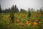 Pandemic pumpkins: How area patches are getting ready for a unique season