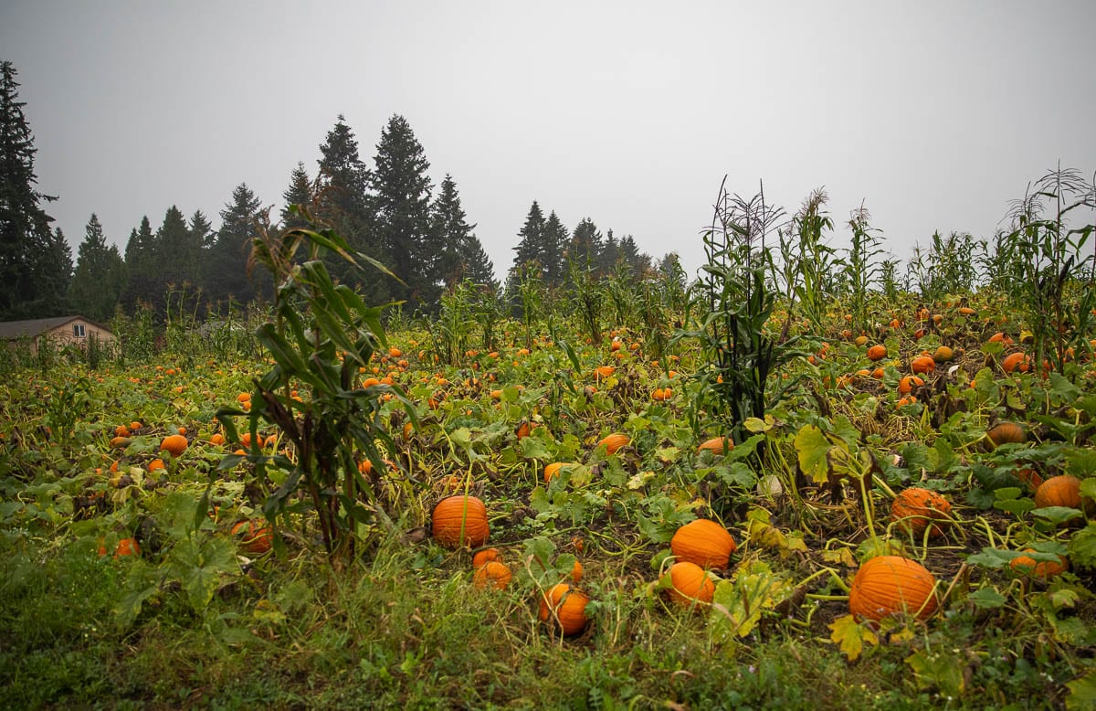 Pumpkins can be seen here ready to be picked by people at Bi-Zi Farms in central Clark County. Photo by Jacob Granneman