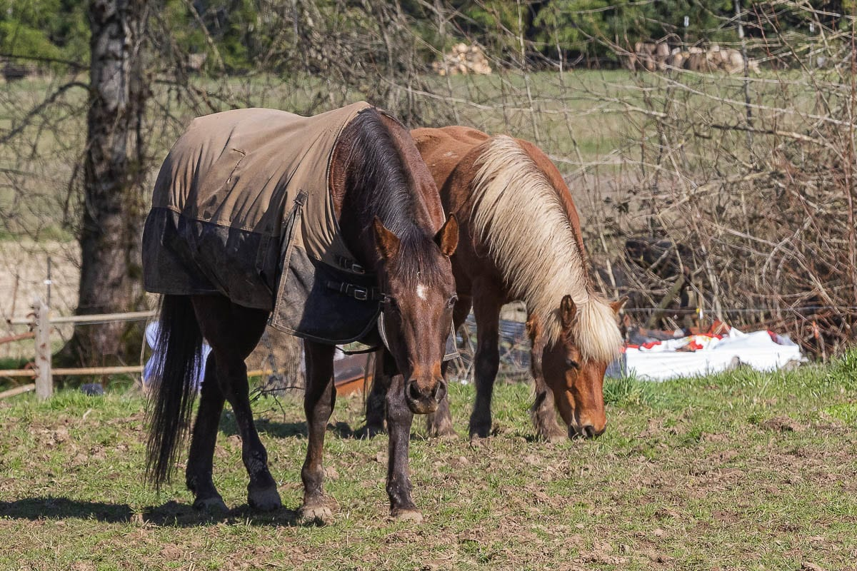 Horses graze in a north Clark County field. Photo by Mike Schultz