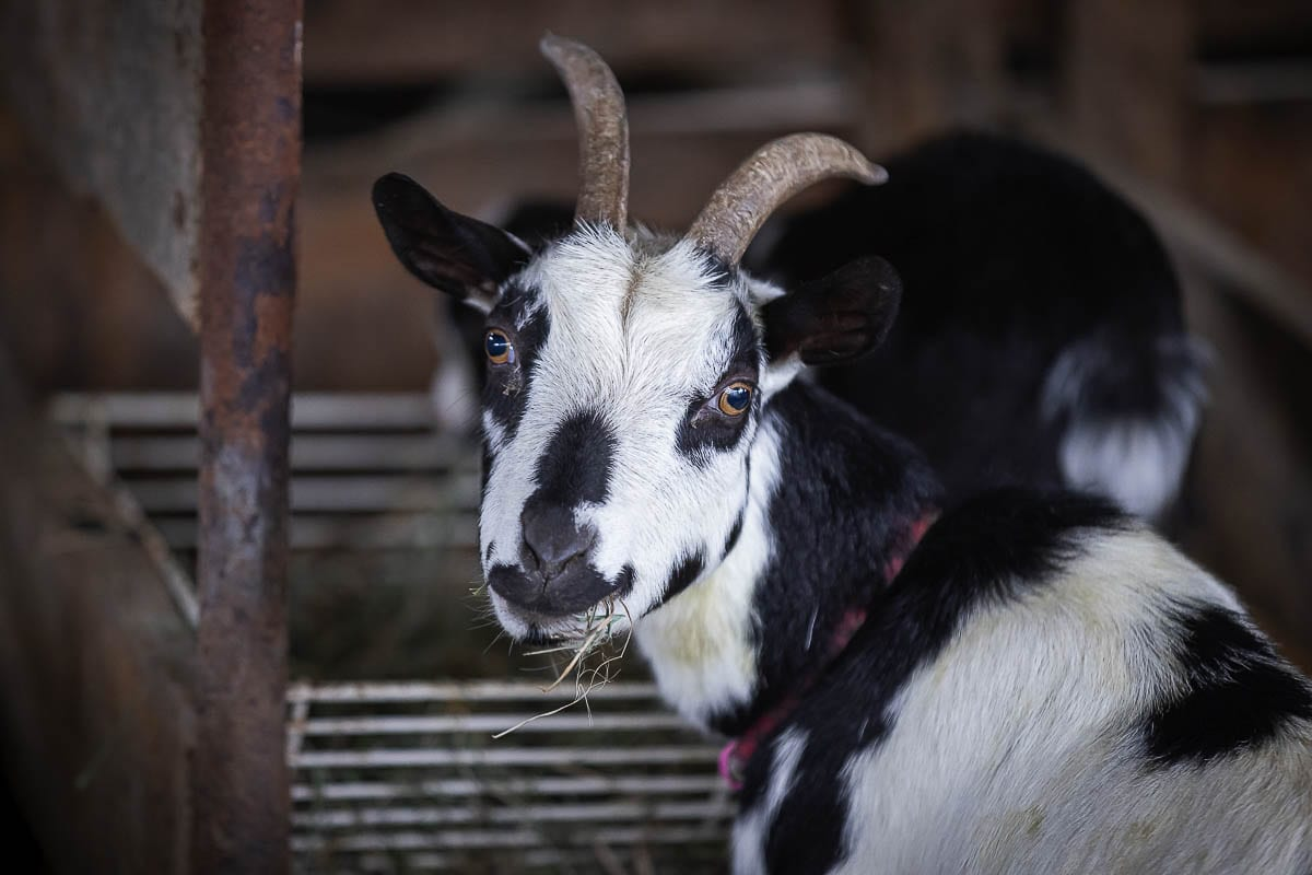 Oreo the goat poses for the camera at Vancouver Pumpkin Patch. Photo by Mike Schultz