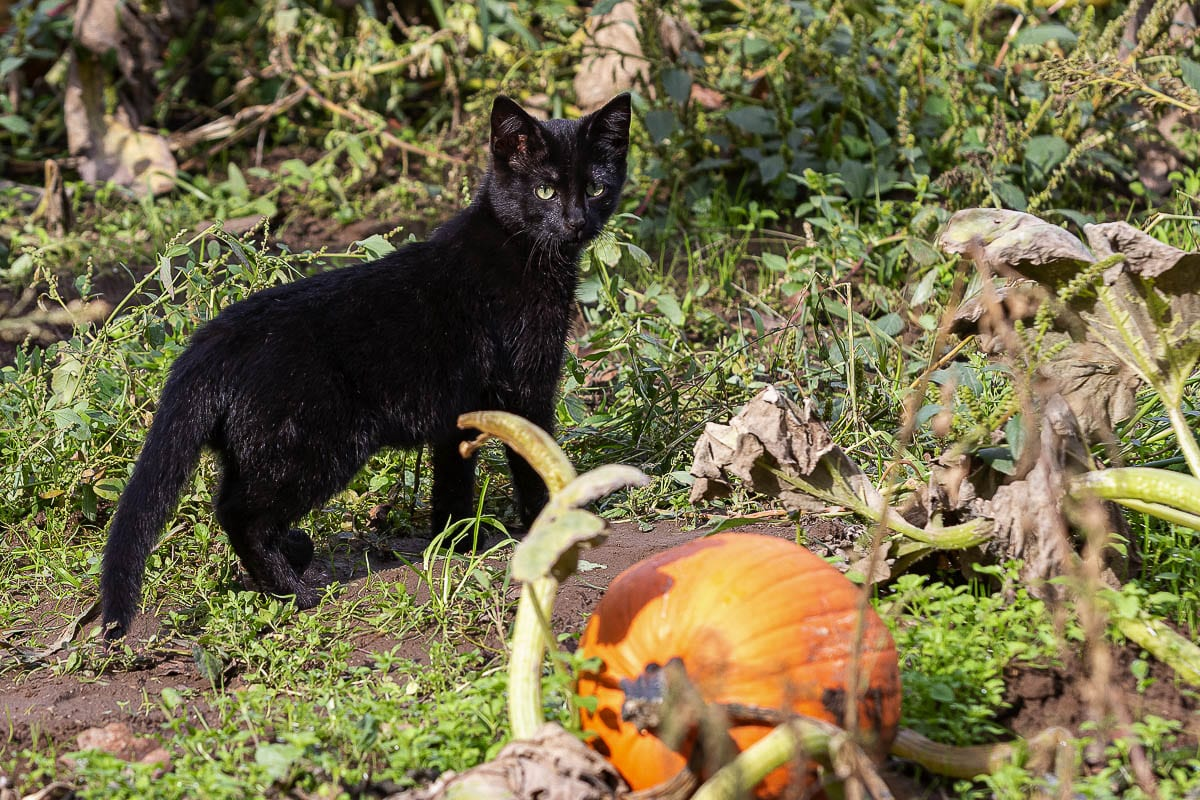 A very appropriate visitor to a pumpkin patch says 'hello' to the camera at the The Patch in Woodland. Photo by Mike Schultz