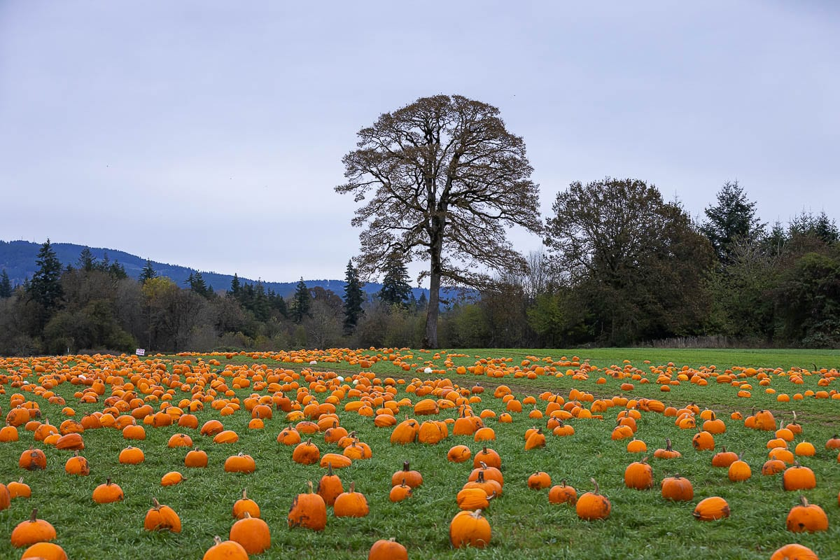 Vancouver Pumpkin Patch is open through the rest of the month and still has many pumpkins to choose from. Photo by Mike Schultz