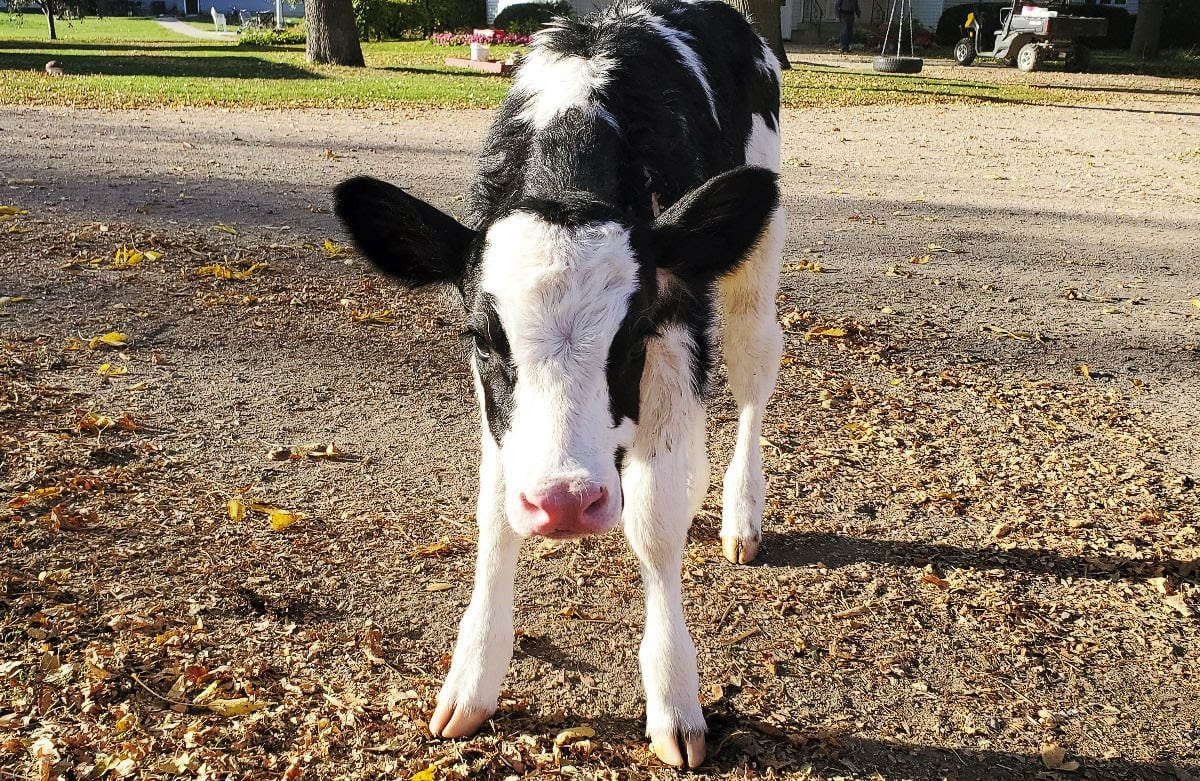Pearl is a Holstein calf that was adopted by Marvina Bugajski's first grade class at Gause Elementary School in Washougal. Photo courtesy of the Washougal School District