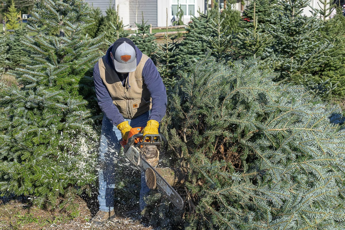 Derek Aldrich trims the base of a tree at East Fork Christmas Trees, where the farm workers cut trees for customers. Photo by Mike Schultz